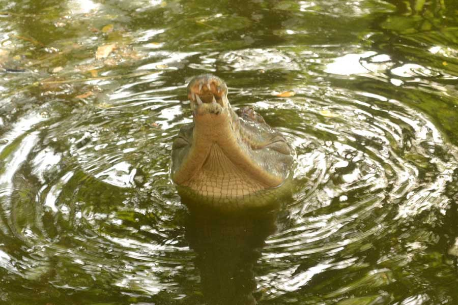 Slender snouted crocodile