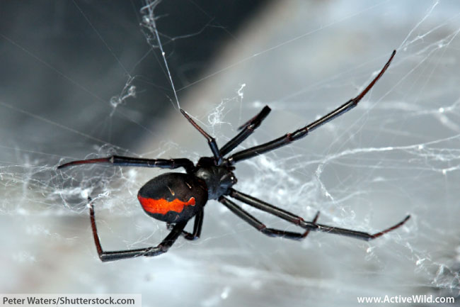 Female Redback Spider