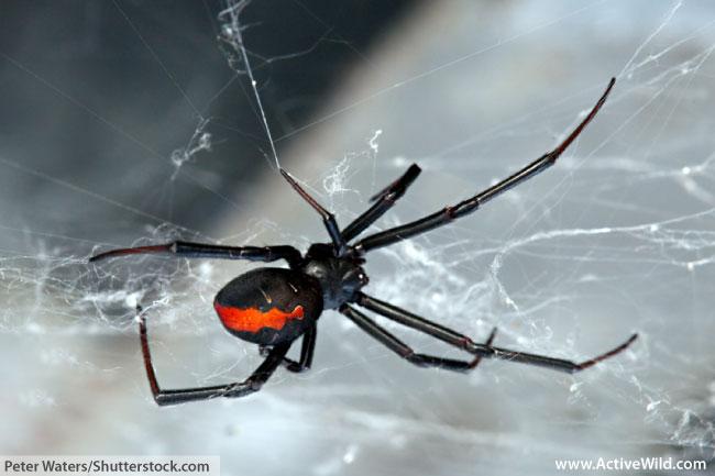 Female Redback Spider