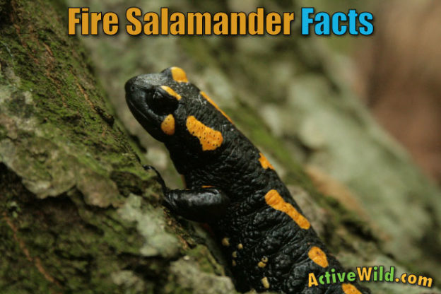 Fire Salamander Facts For Kids