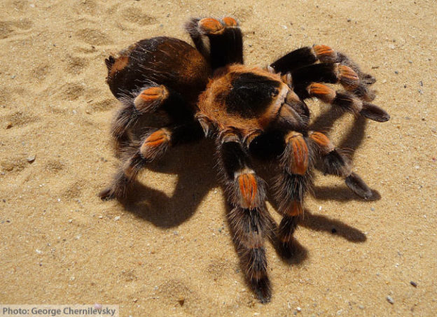 Mexican Redknee Tarantula Facts For Kids