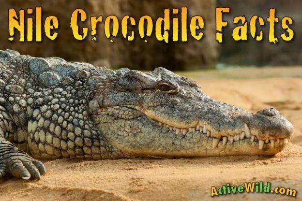 Nile Crocodile Facts For Kids