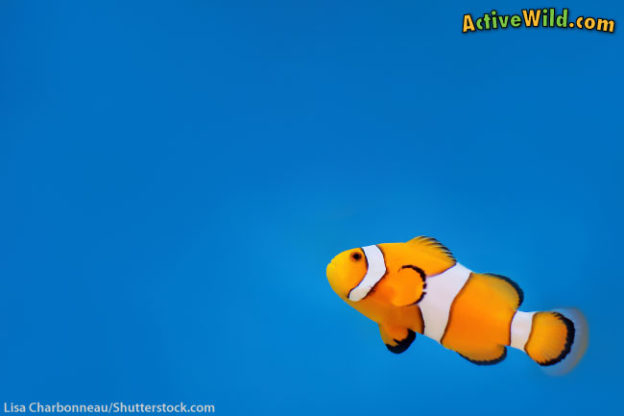 Ocellaris clownfish facts for kids the real life fish in for Fish facts for kids