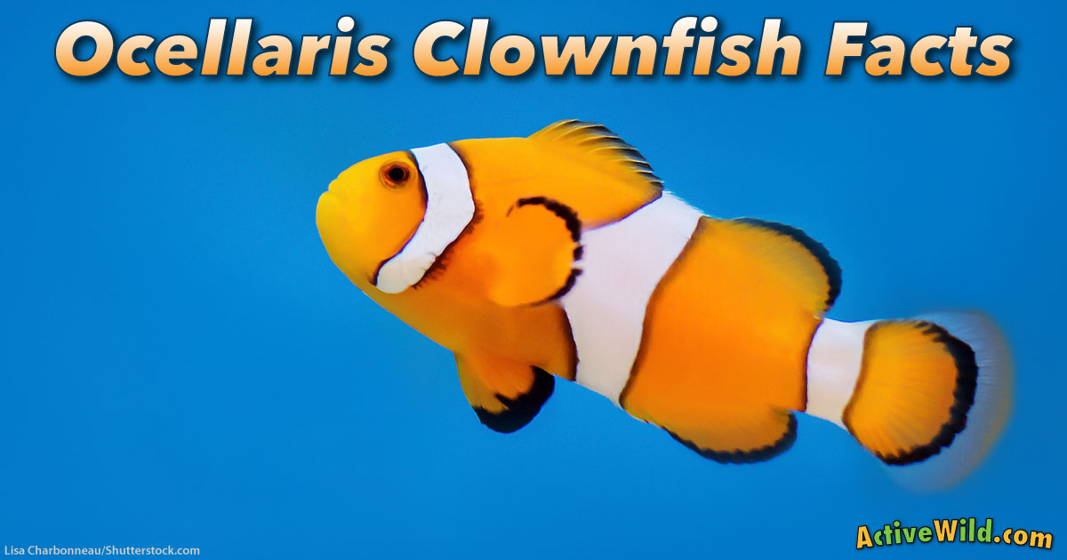Ocellaris clownfish facts for kids the real life fish in for Clown fish habitat