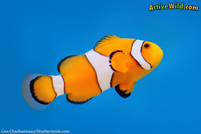 Ocellaris Clownfish the fish in finding memo