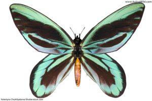 Queen Alexandra's Birdwing Butterfly