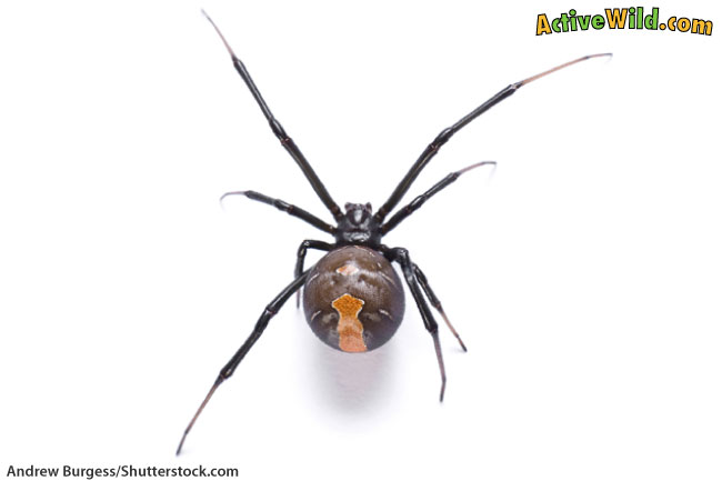 Redback Spider Close Up