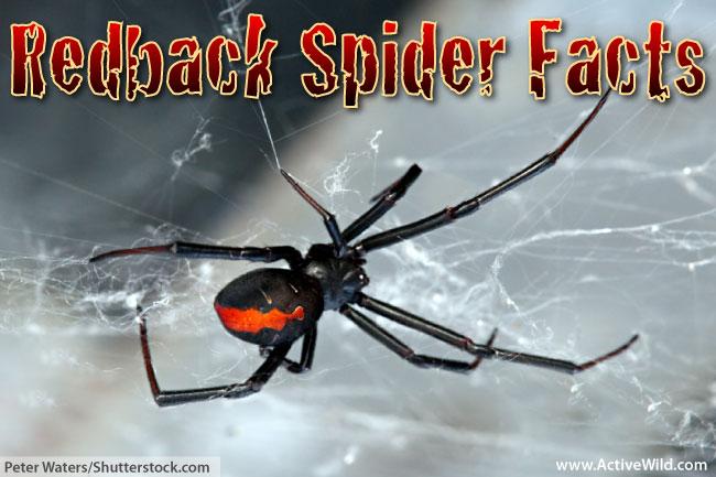 Redback Spider facts for kids
