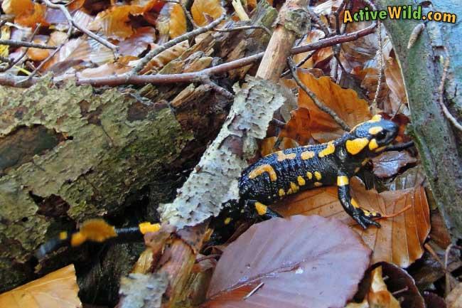 fire salamander habitat