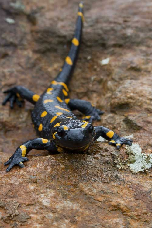 Fire Salamander Facts For Kids Amp Adults Pictures