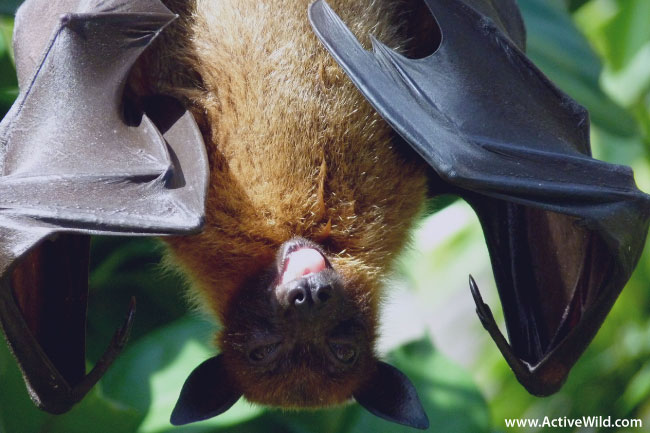 Bat Flying Mammal