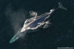 Blue Whale Largest Mammal