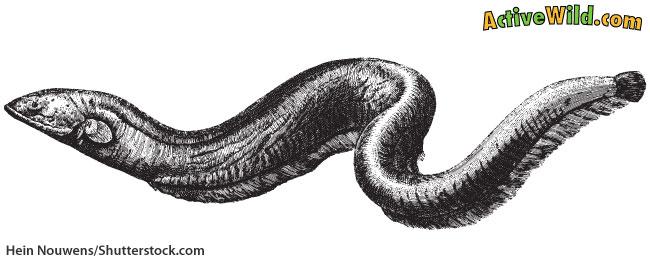 Electric Eel Body