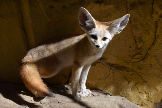 Fennec Fox - African Wild Dog