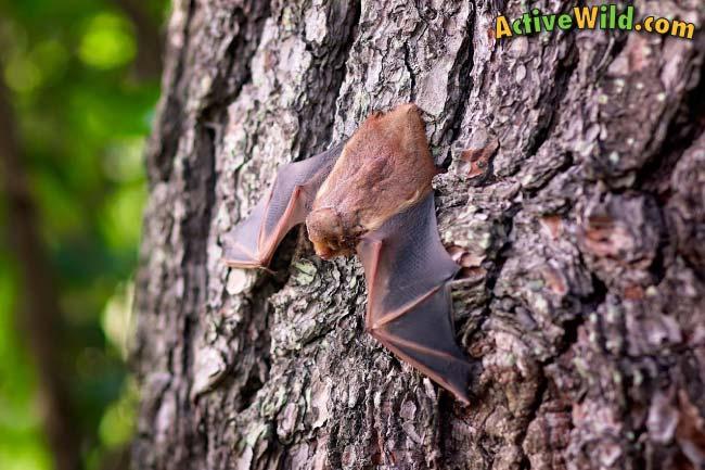 Flying Mammal Bat