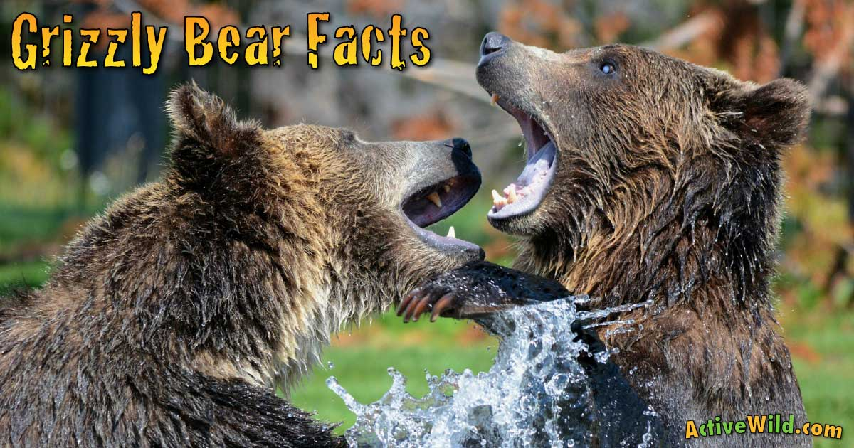 Grizzly Bear Facts For Kids & Students: Pictures ... - photo#47
