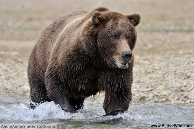 Grizzly Bear Running Through Water