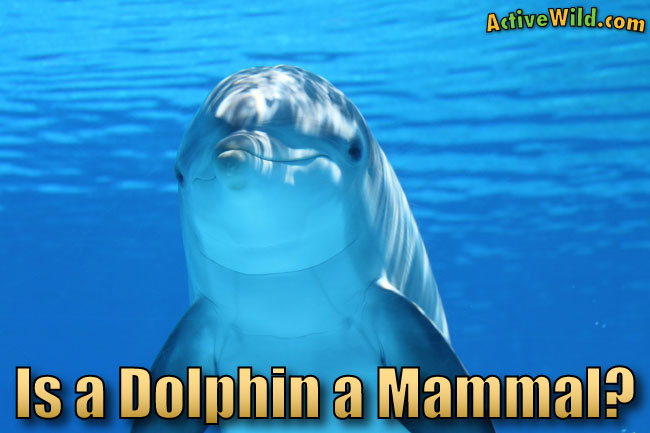 Is A Dolphin A Mammal