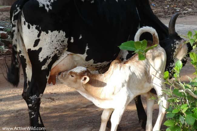 Mammal Drinking Mothers Milk