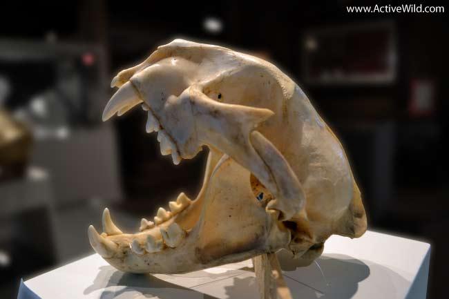 Mammal Skull