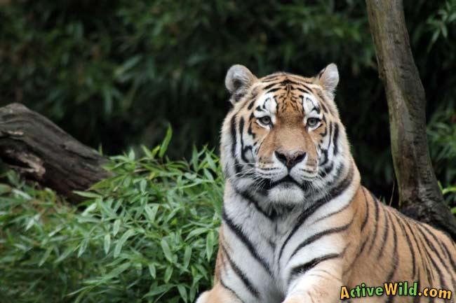 Mammal Sumatran Tiger