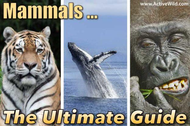 Mammals What Is A Mammal