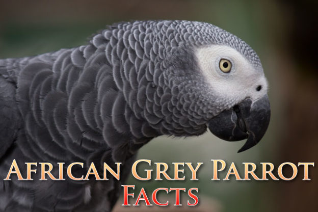 African Grey Parrot Facts For Kids and Students