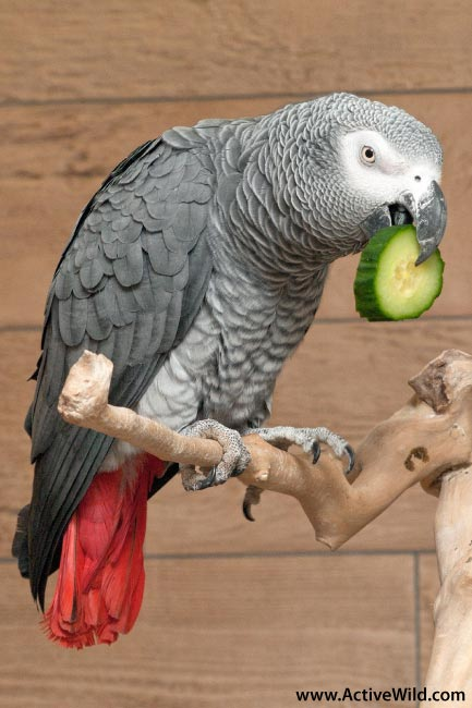 African Grey Parrot Pet
