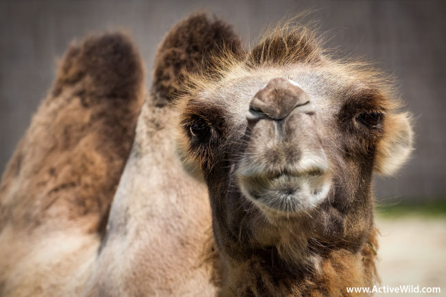 Bactrian Camel Face