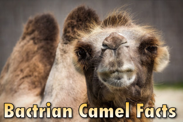 Bactrian Camel Facts For Kids