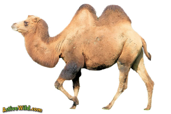 Bactrian Camel two humps