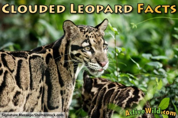 Clouded Leopard Facts For Kids