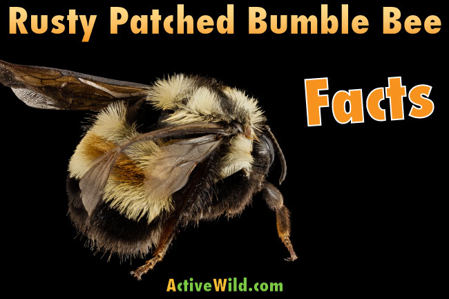 Rusty Patched Bumble Bee Facts