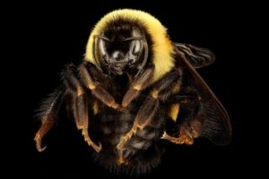 Rusty patched bumble bee queen