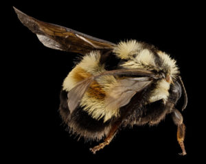 Rusty Patched Bumble Bee Worker