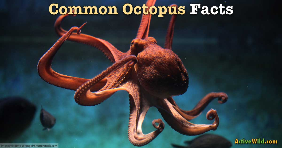 Common Octopus Facts For Kids Amp Students Pictures