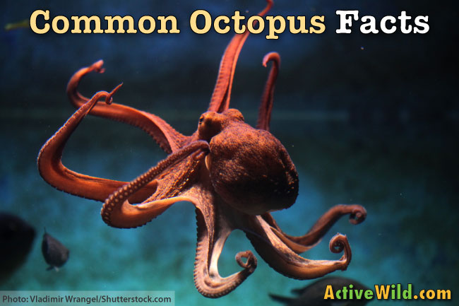 Common Octopus Facts