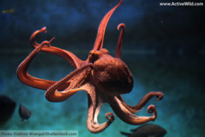 Common Octopus Outstretched