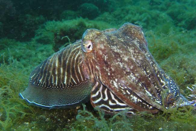 Cuttlefish Cephalopod