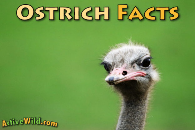 Common Ostrich Facts For Kids
