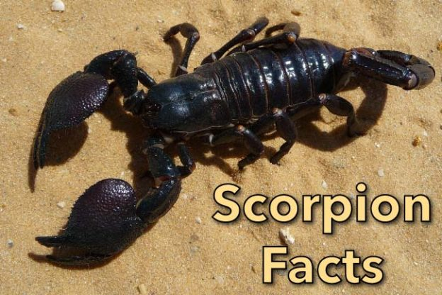 Scorpion Facts For Kids