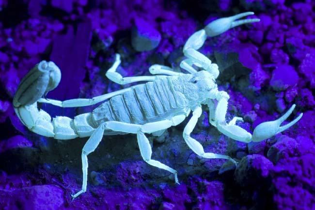 Scorpion Glowing