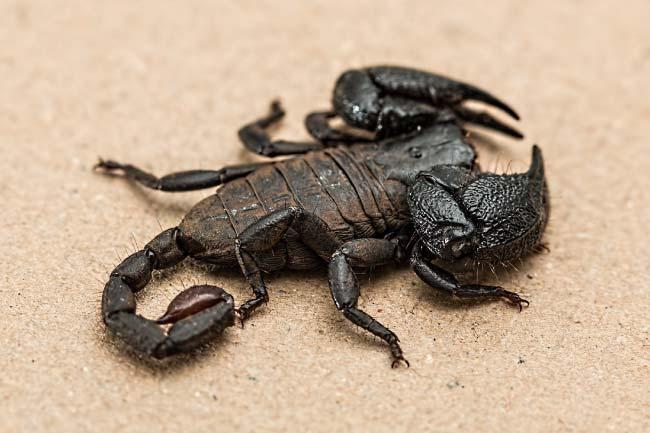 Scorpion Hairs