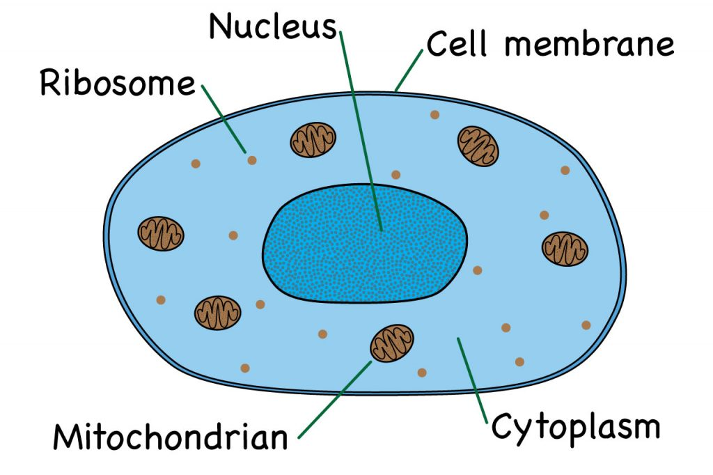 parts of an animal cell diagram