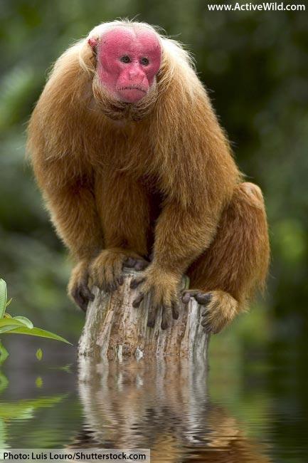 Bald Uakari Rainforest mammal