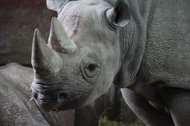 Black Rhino Lip