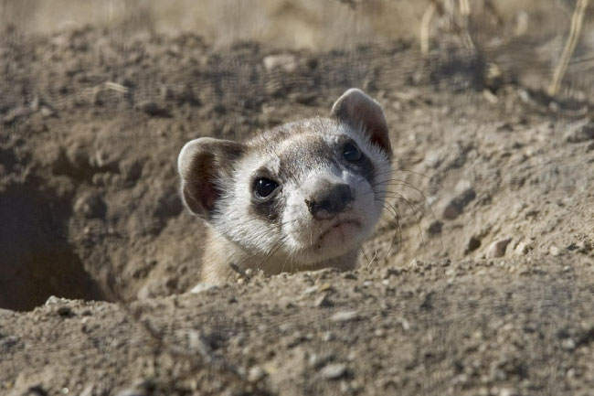 black footed ferret face