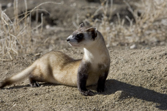 Black footed ferret in the wild