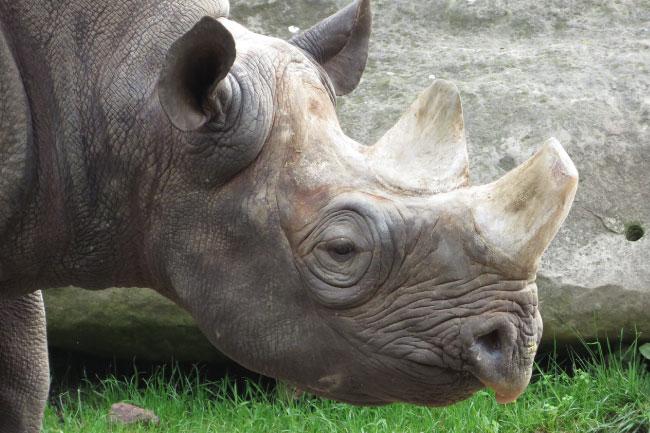 Black rhino head and horns