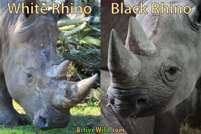 Black rhino vs white rhino lips